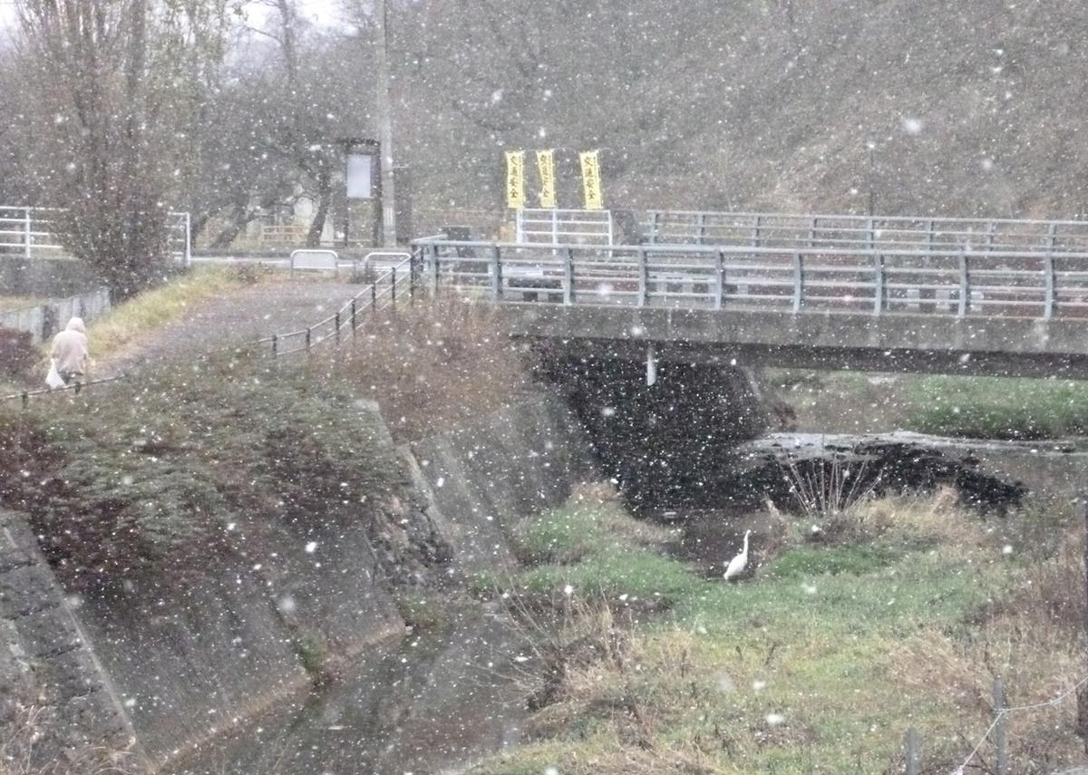 吹雪の川のシラサギ 遠くから