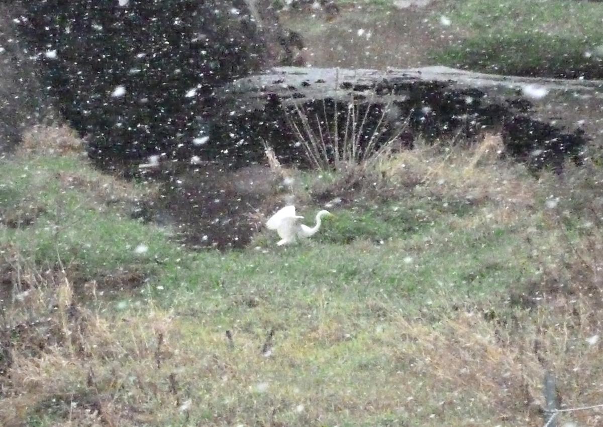 雪舞う川でバタつくシラサギ