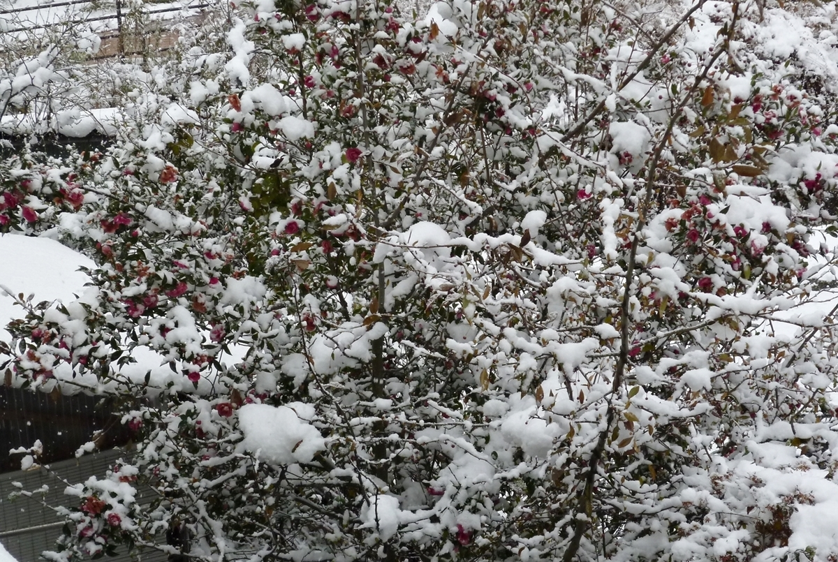 雪が積もった山茶花さざんか