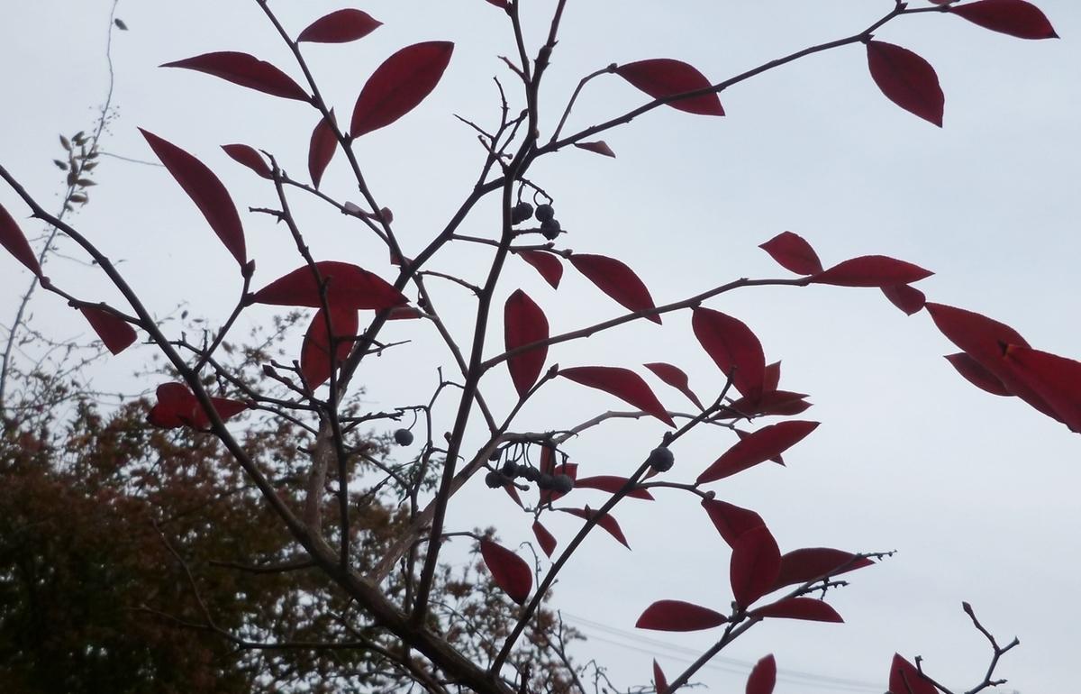 冬に残る紅い葉と実