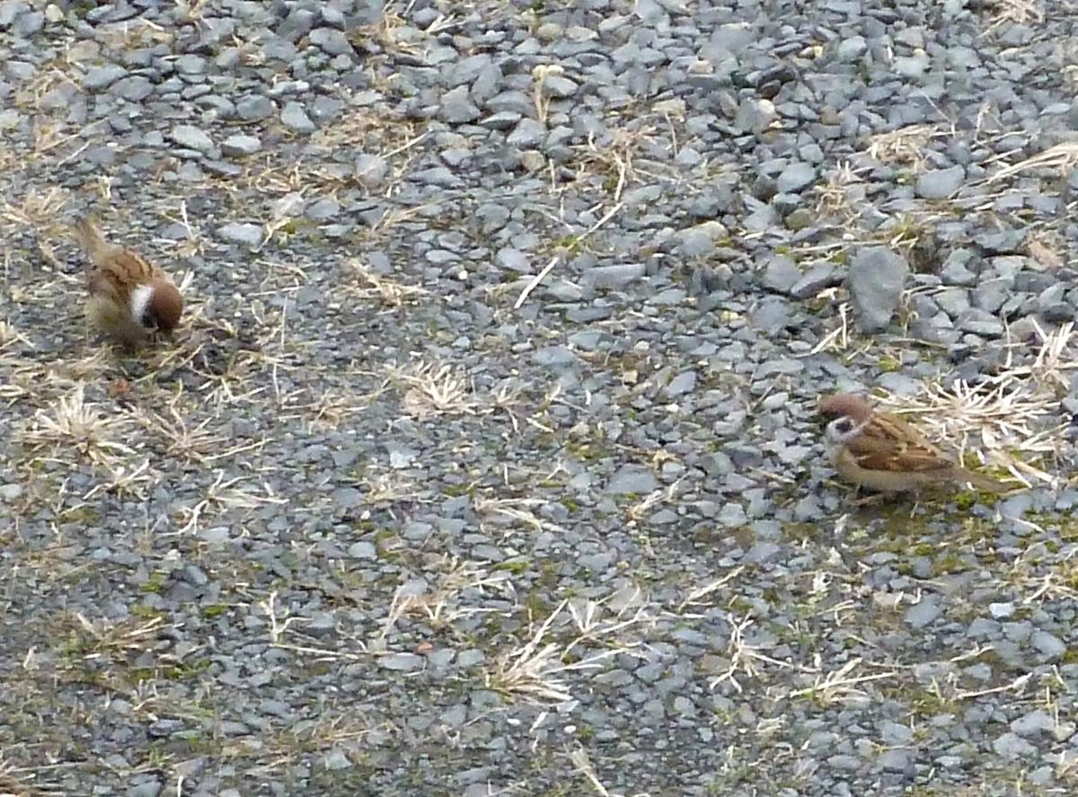 地面で餌を探すスズメ2羽