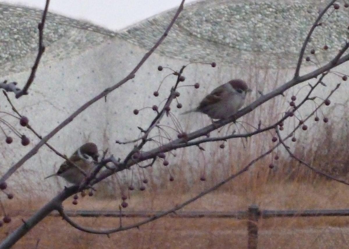 枝のすずめ2羽