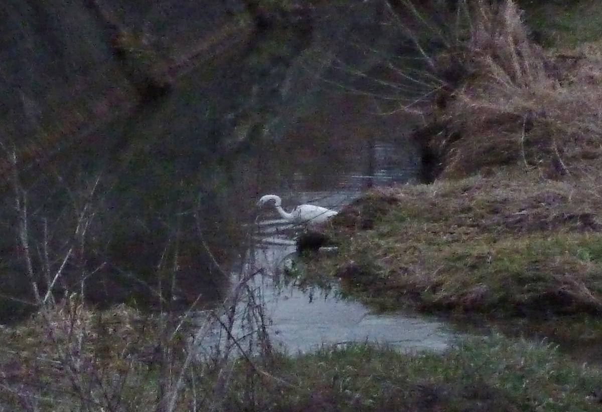 川辺のシラサギ