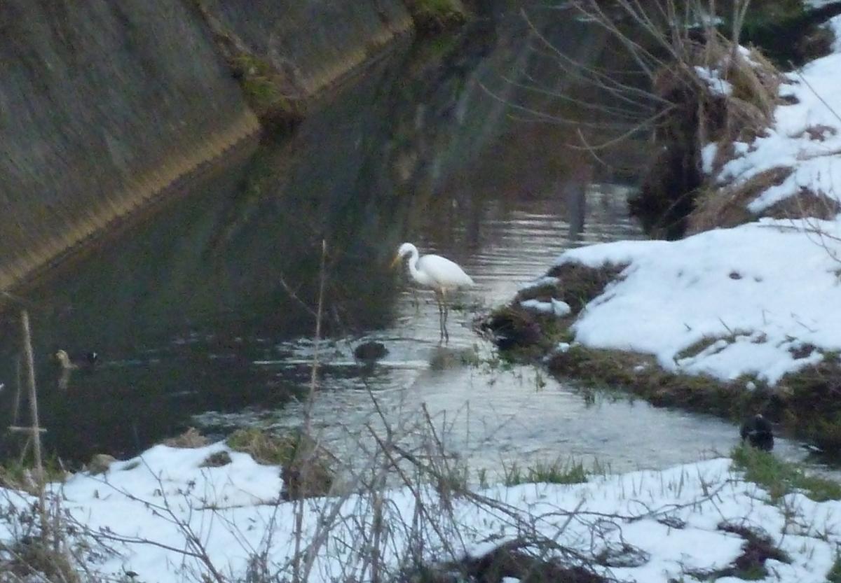 雪の川辺のシラサギとカモ