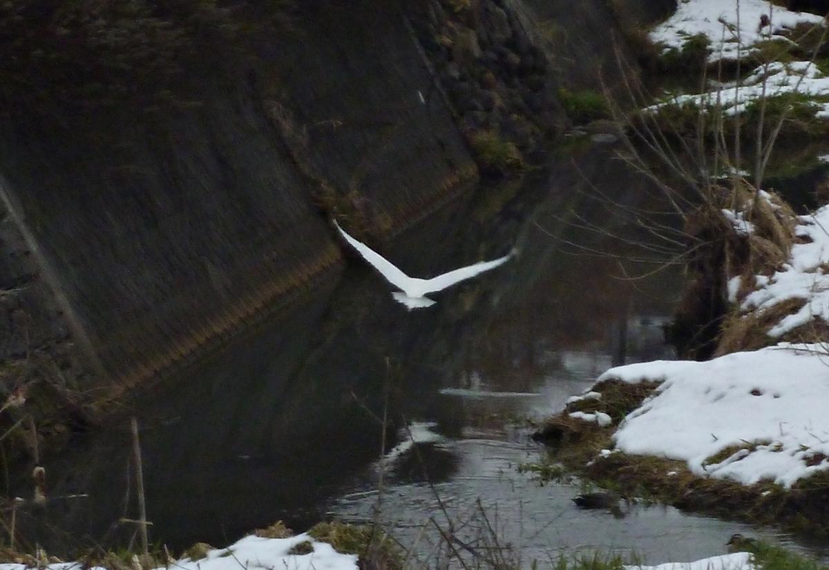 川面を飛び移動するシラサギ