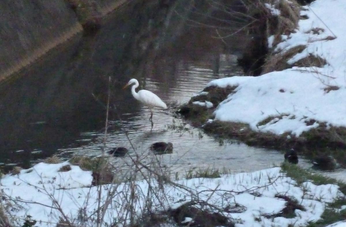 川辺のシラサギとカモ