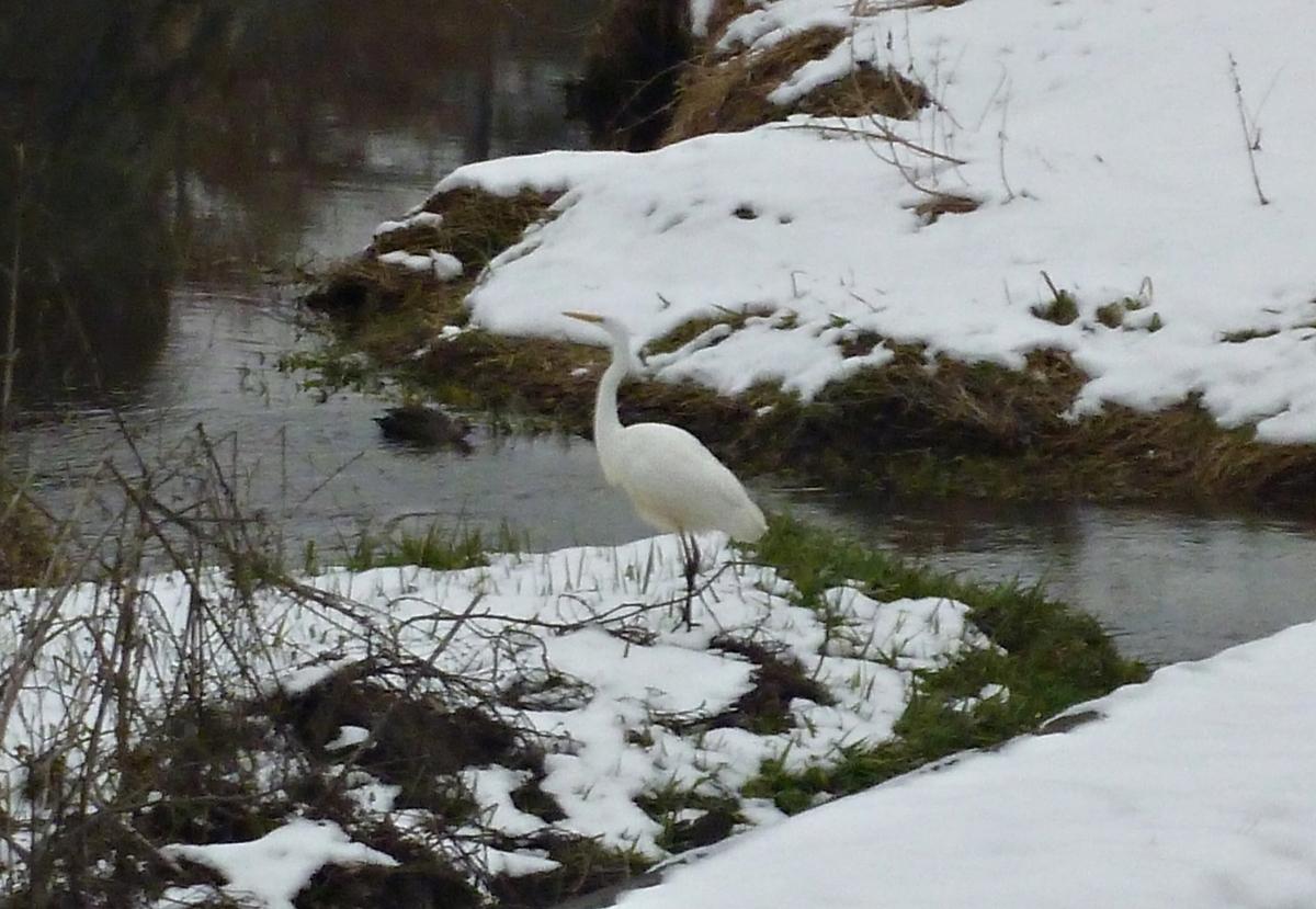 雪の陸地に立つシラサギ