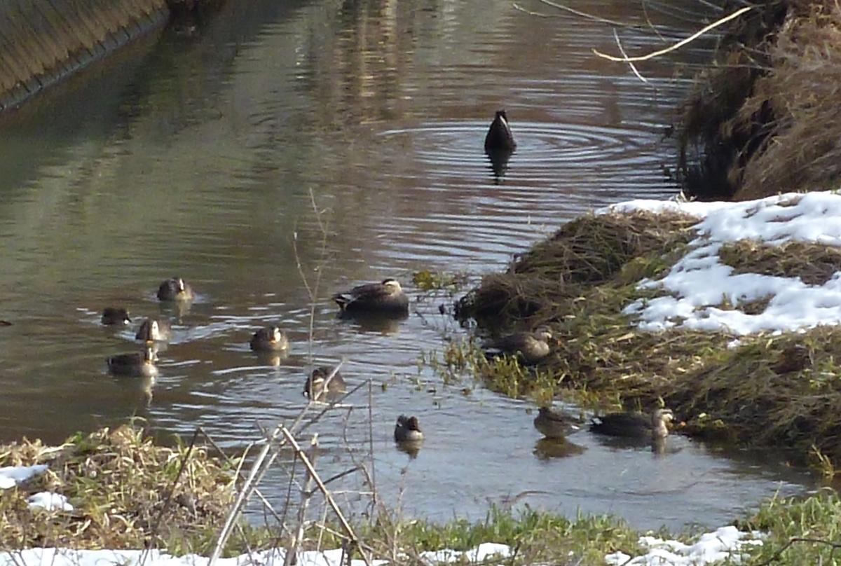 冬の野鳥 川のカモたち