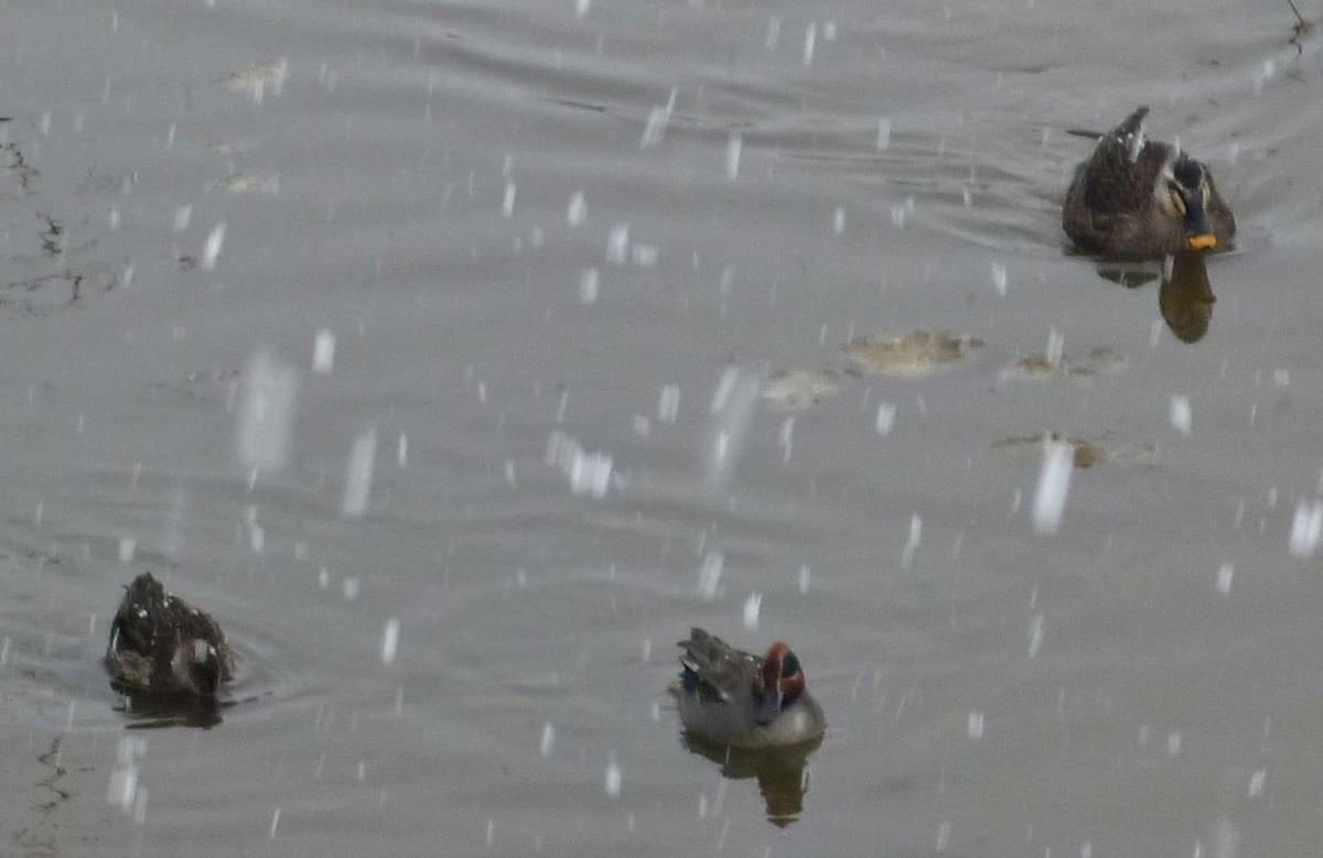 雪降る川のカモ3羽 野鳥