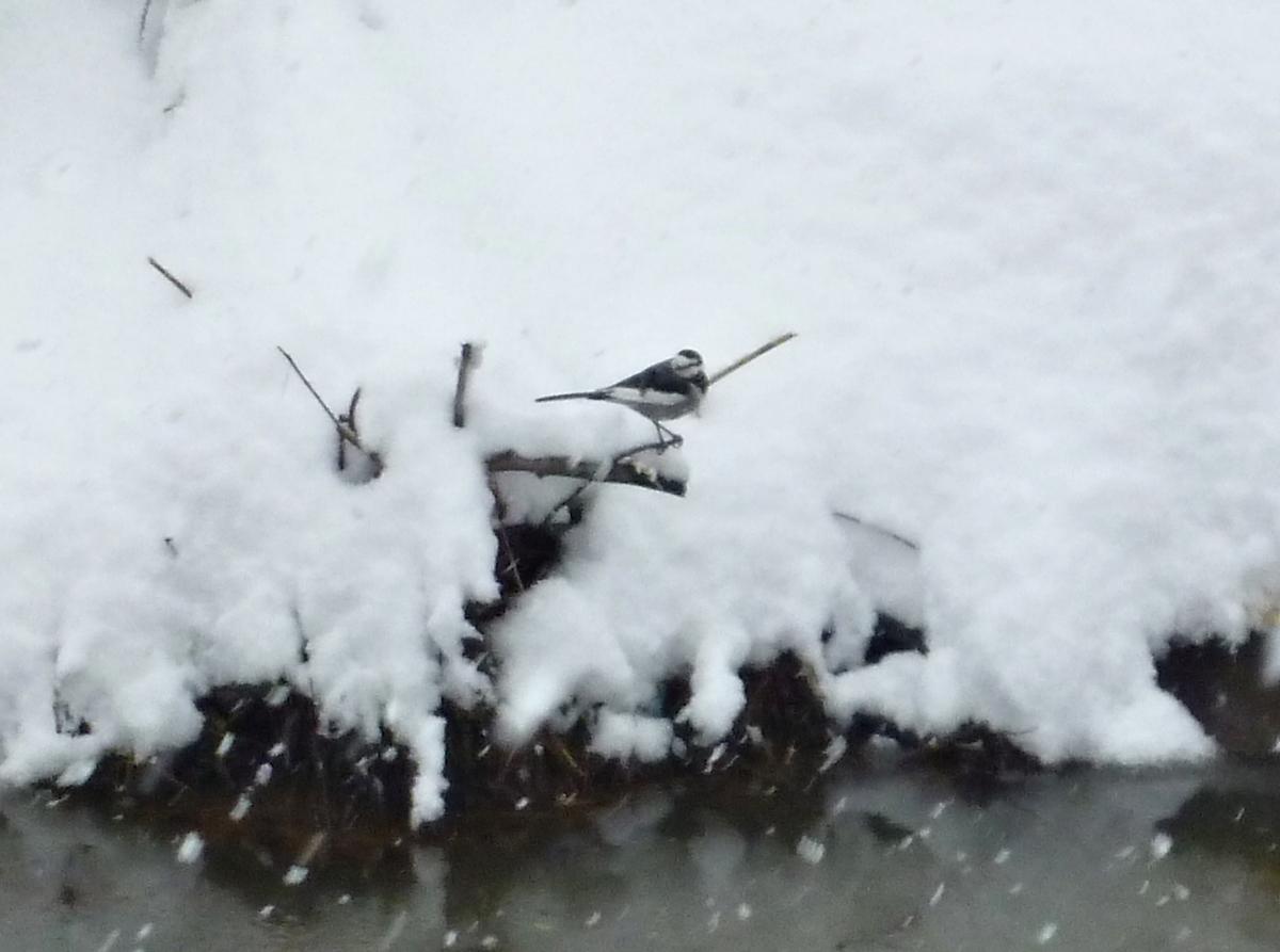 ハクセキレイ 野鳥 冬 雪