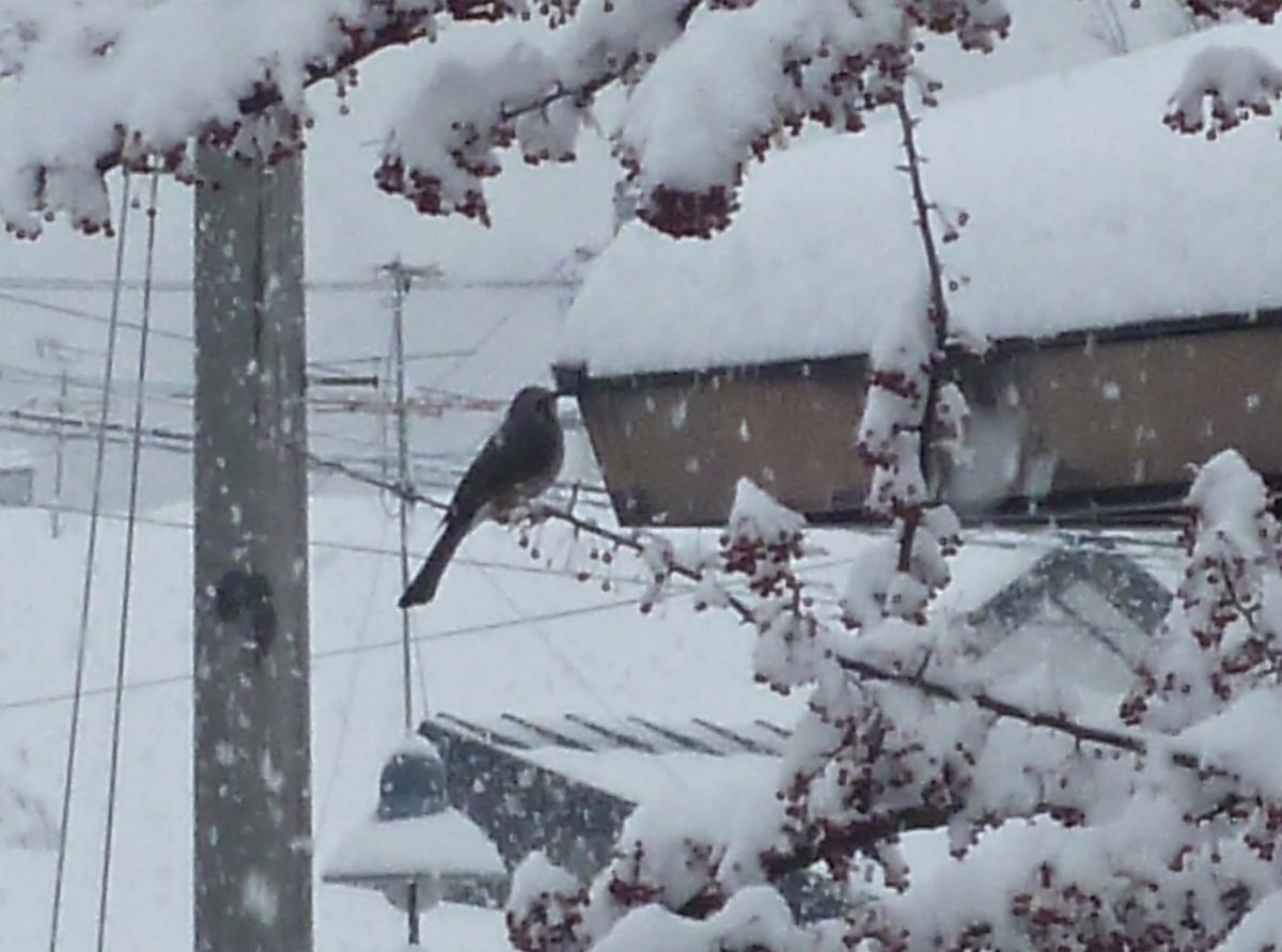 ヒヨドリ 冬 雪 野鳥