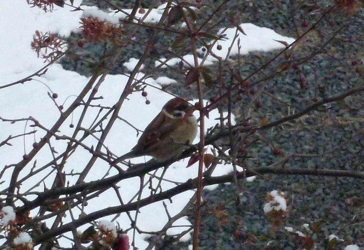 冬のスズメ 野鳥