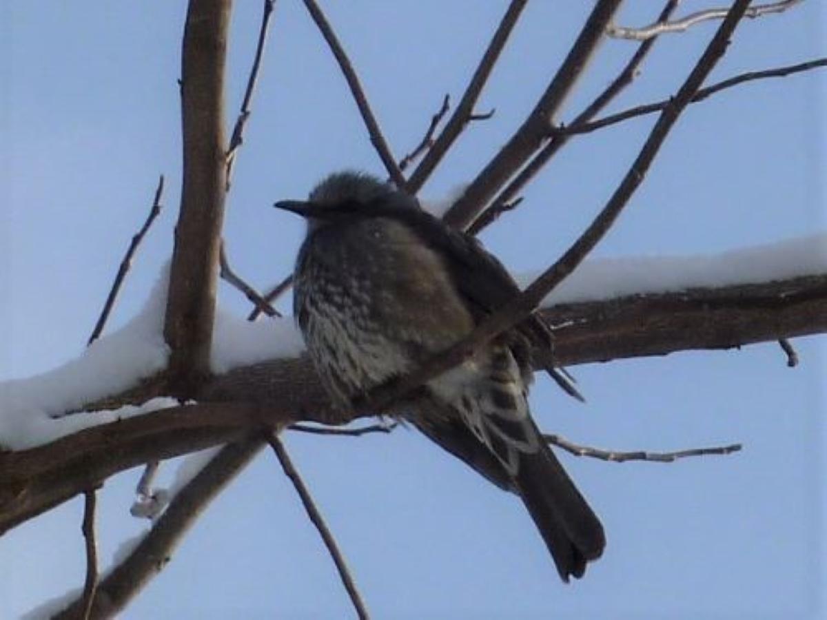 野鳥 雪の枝のヒヨドリ