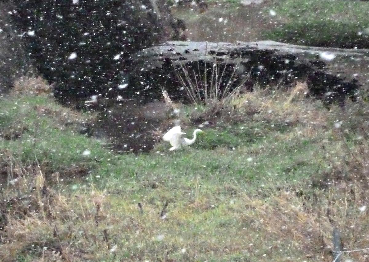 バタつくシラサギ 中サギ 野鳥