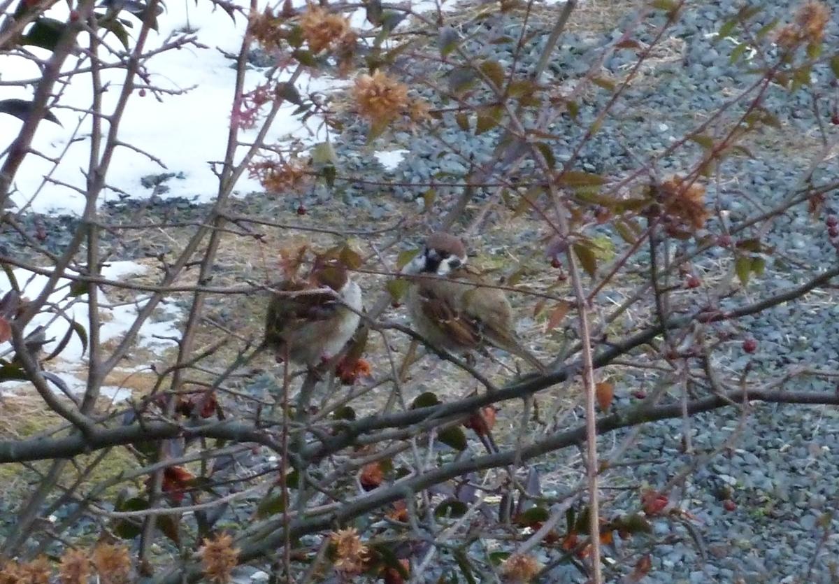 すずめ 仲良し 2羽 野鳥