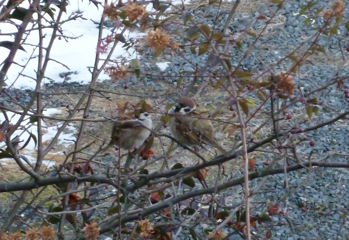 すずめ 仲良し 向き合う 野鳥