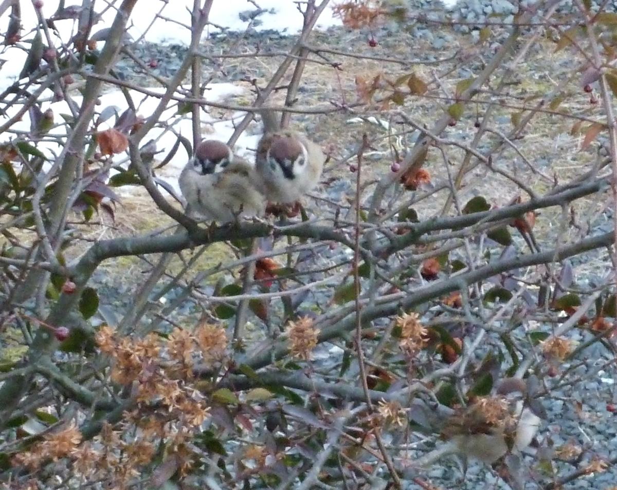 すずめ 冬 仲良し 野鳥