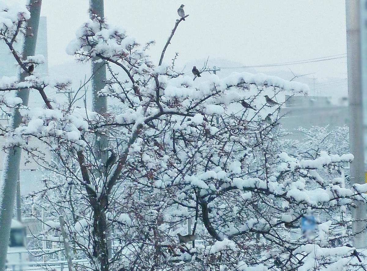 ヒヨドリの群れ 雪 冬