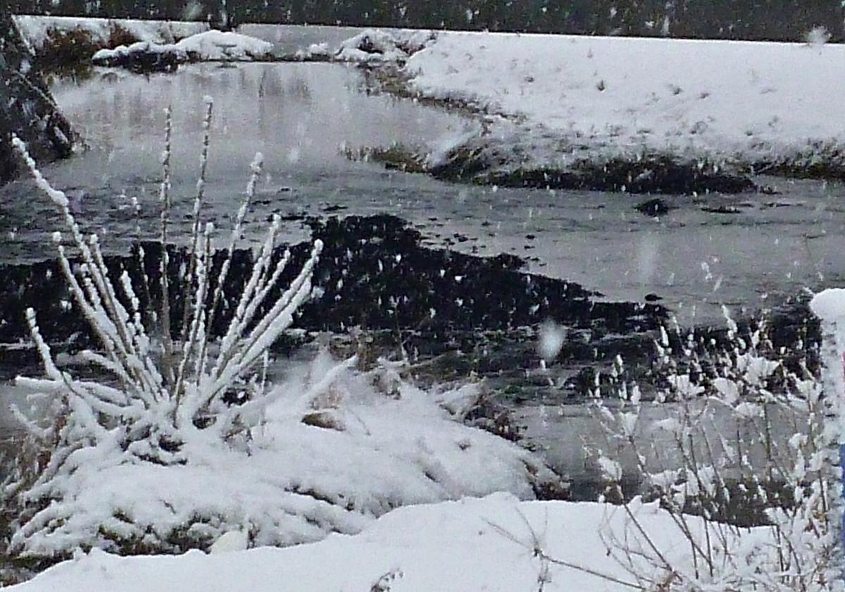 雪景色に紛れるシラサギ 大鷺 大サギ