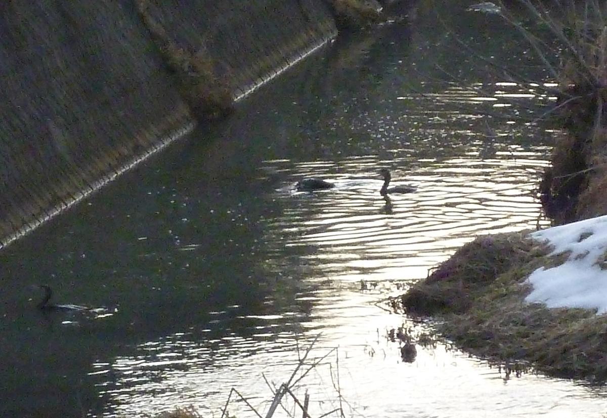 カワウ 川鵜