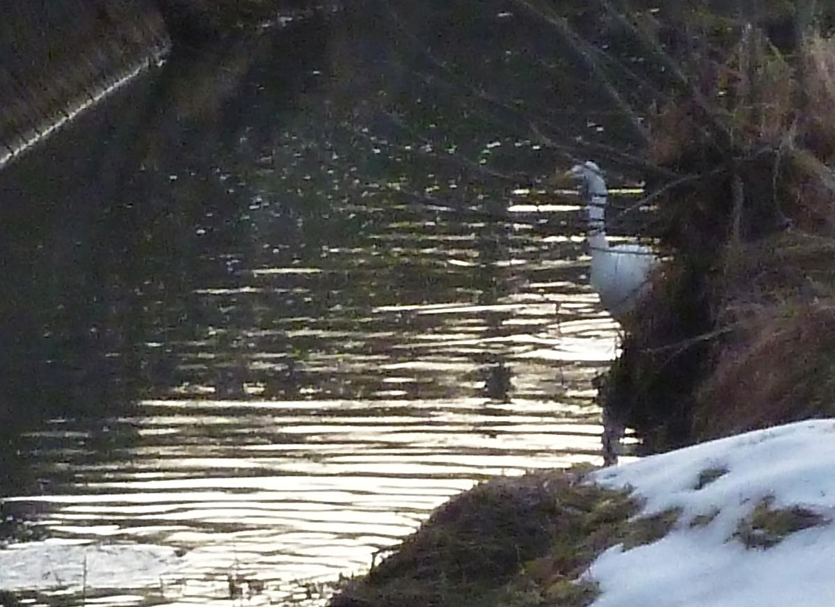 カワウ 川鵜 シラサギ 白鷺 大鷺 大サギ