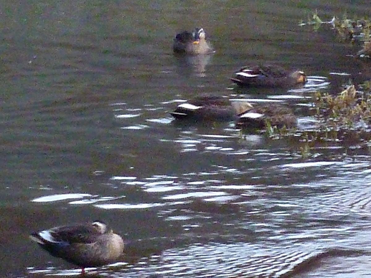 カルガモ 群れ 川