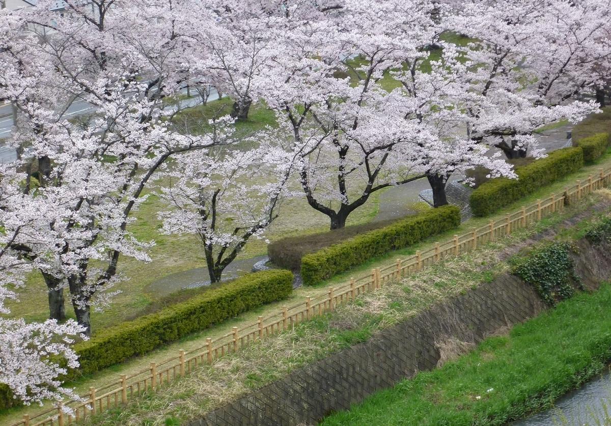 桜並木 公園 遊歩道 満開