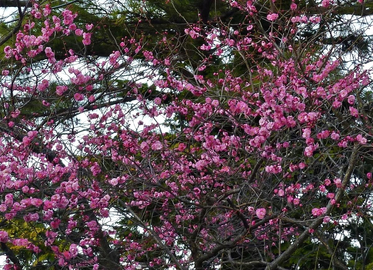 3月に咲いたピンクの花