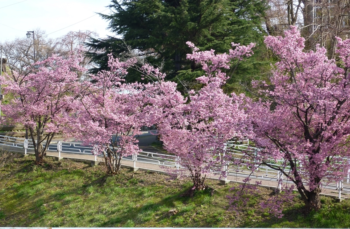 ピンクの花 並木道