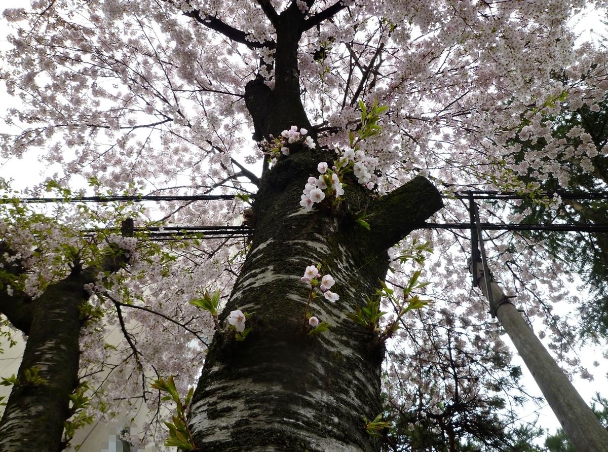 桜 大木 幹 皮