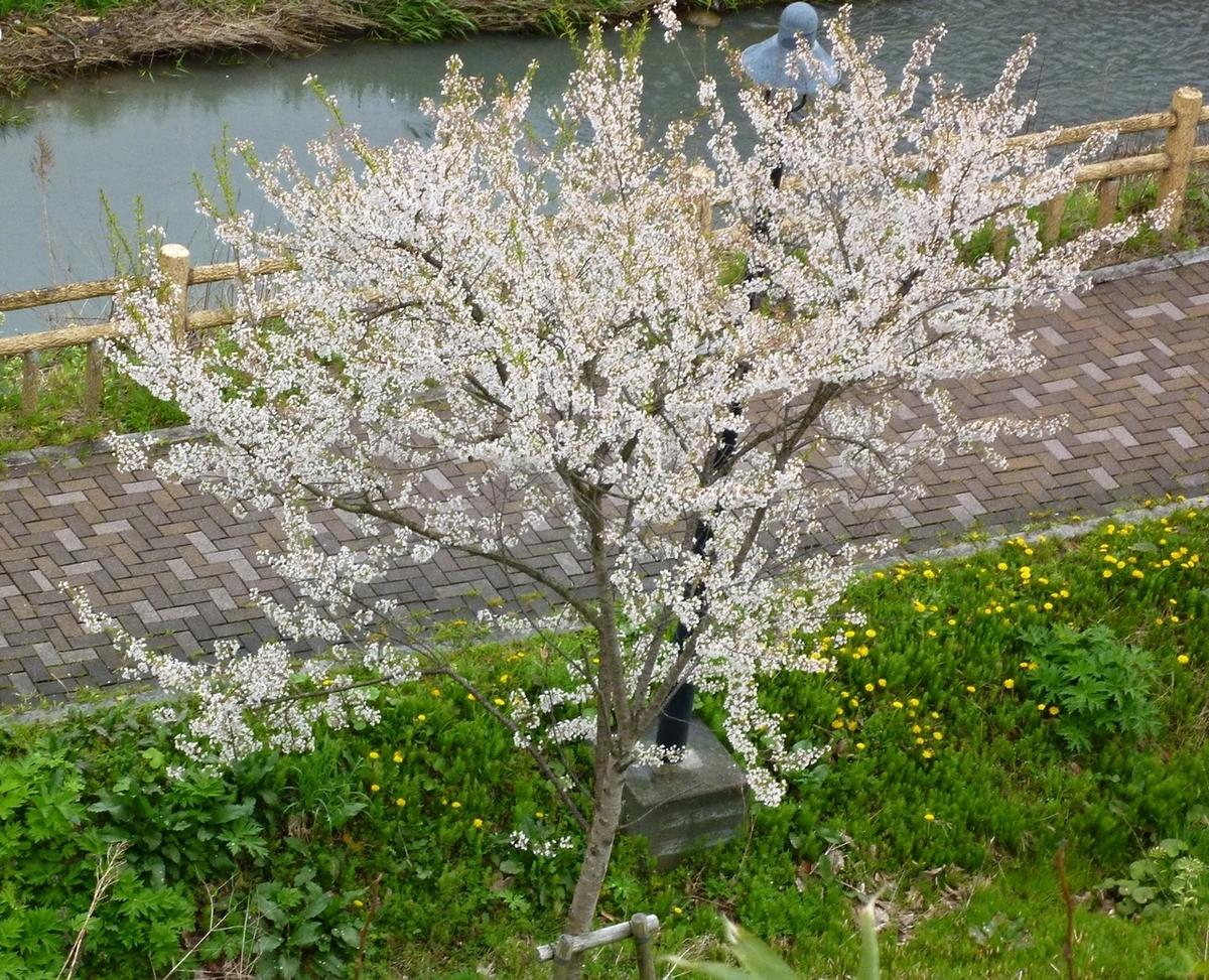 桜 ソメイヨシノ 公園