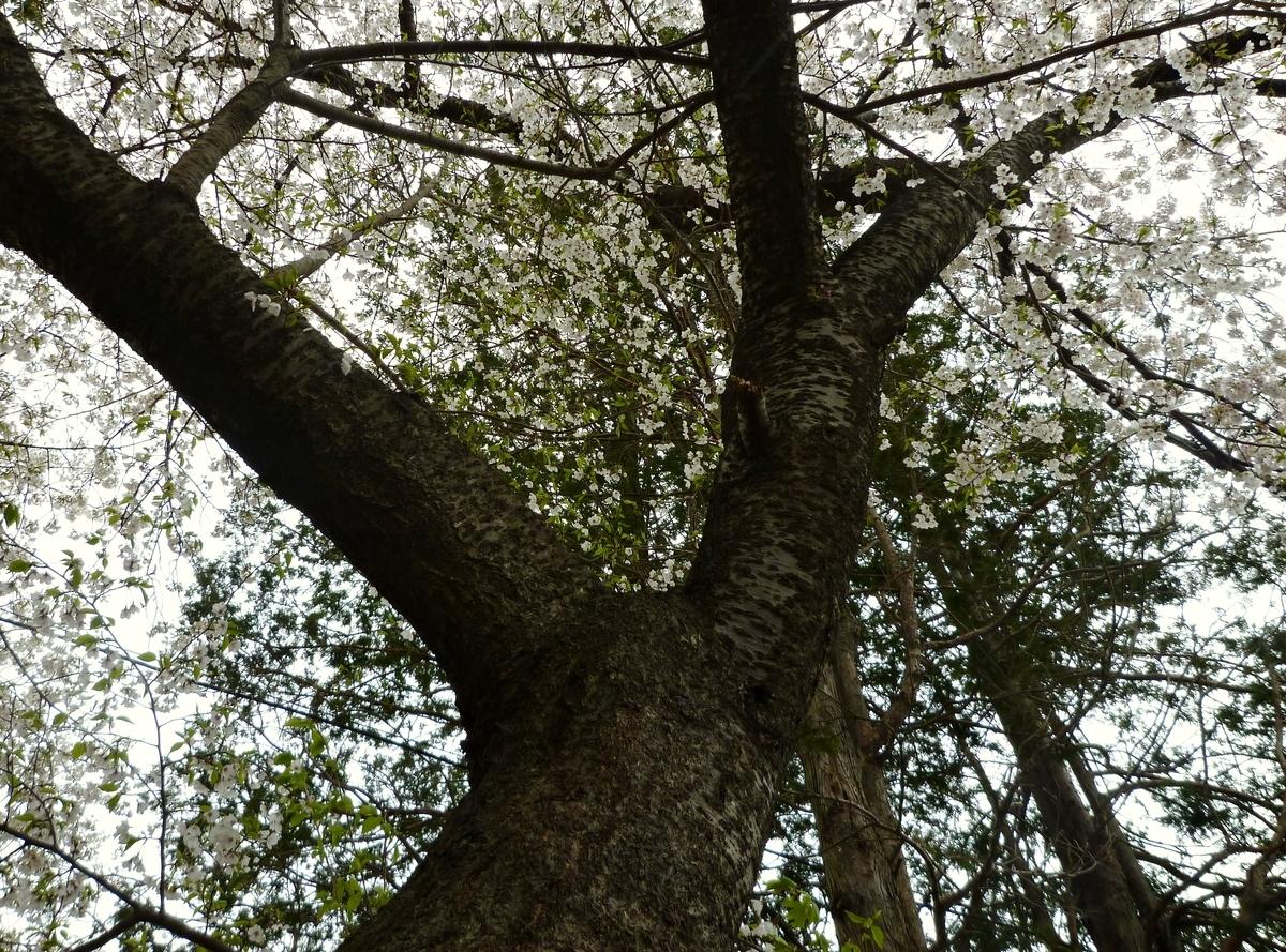 桜 木 幹