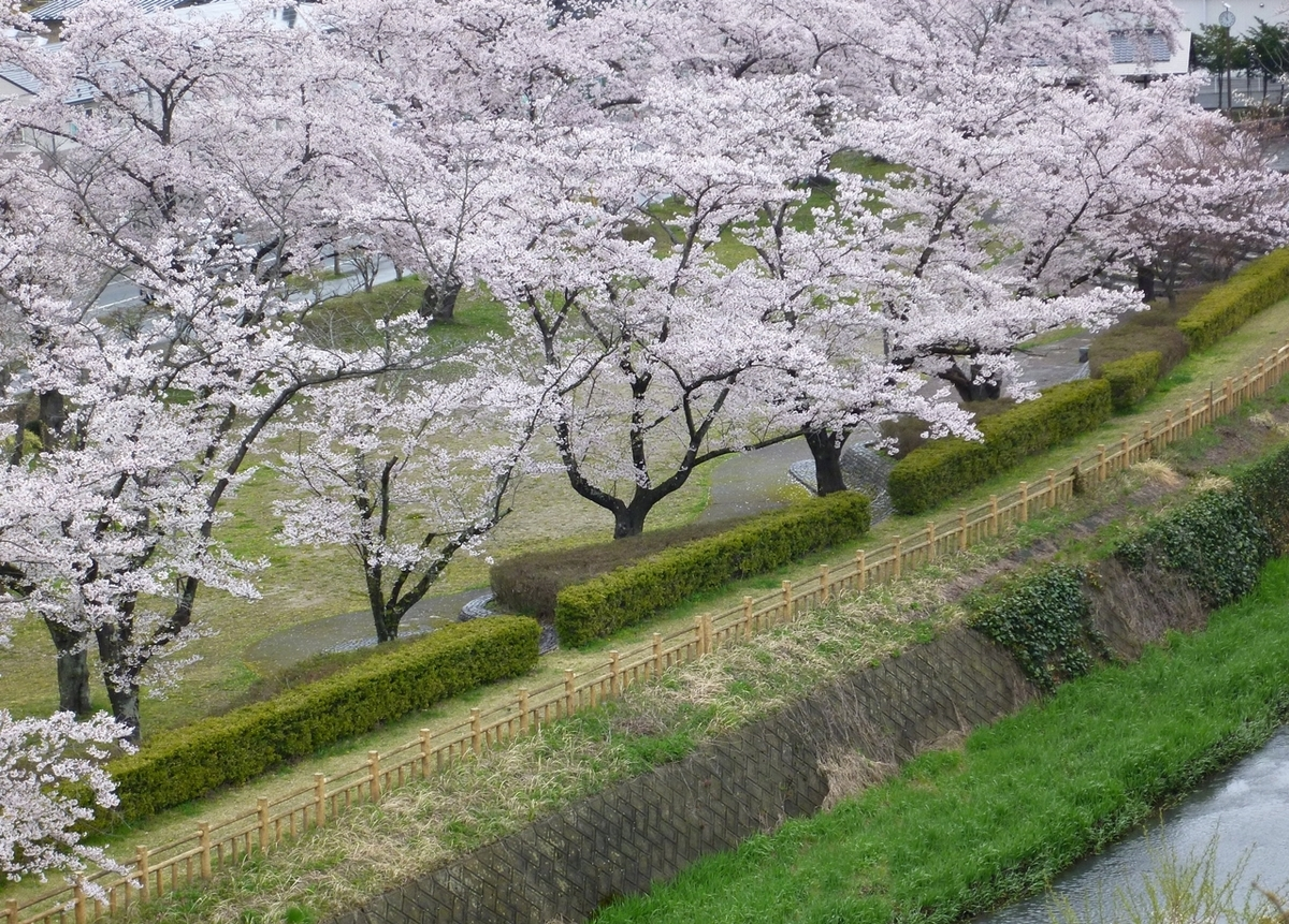 公園 桜並木