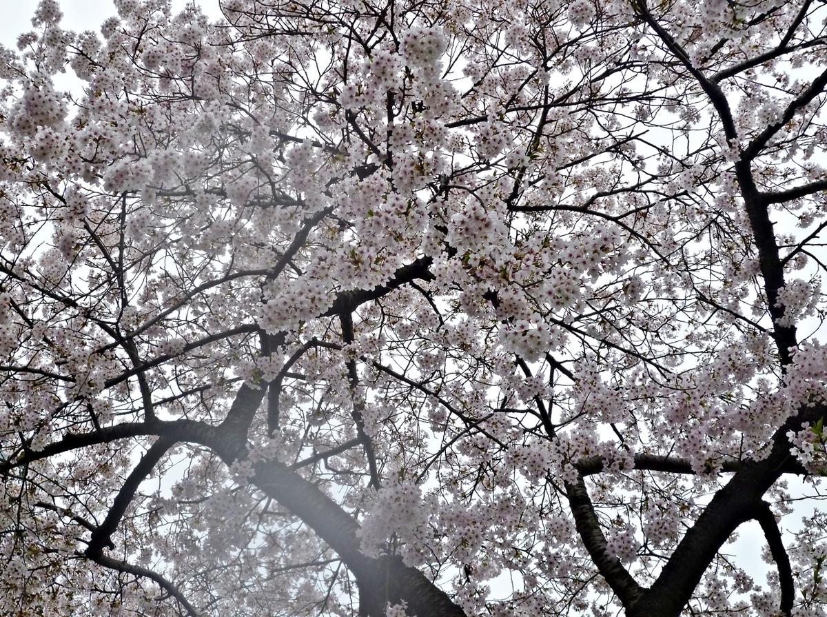 桜 ソメイヨシノ トンネル