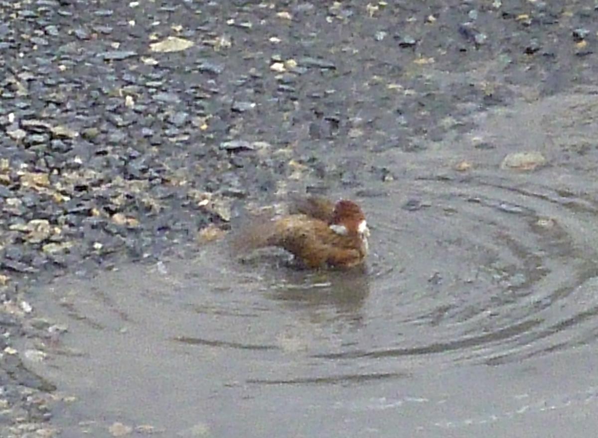 スズメ 水浴び