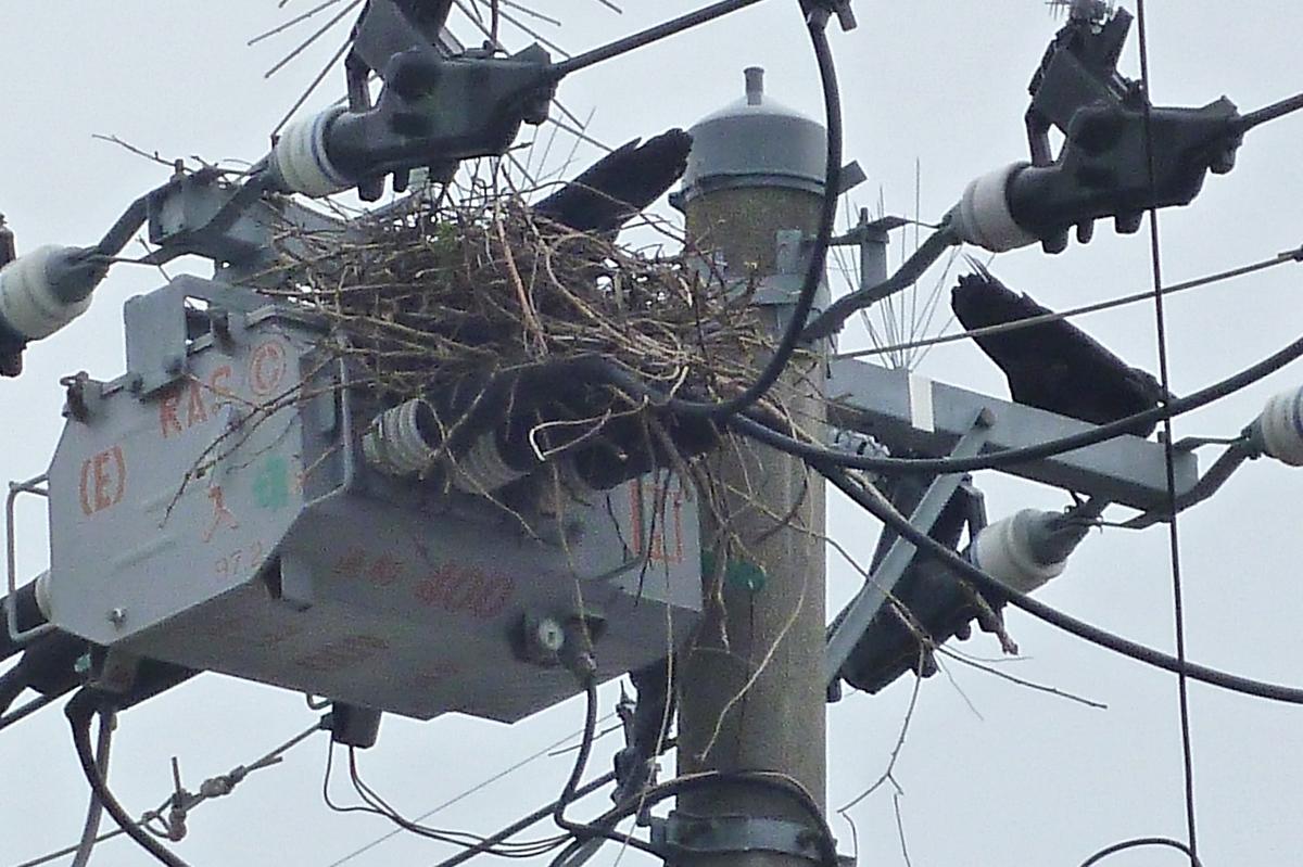 カラス 巣 電柱
