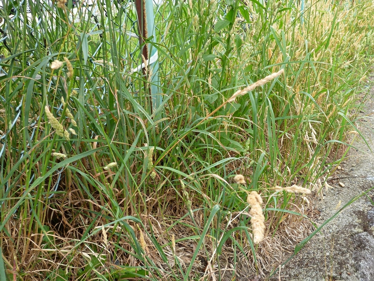猫のしっぽのような草 雑草