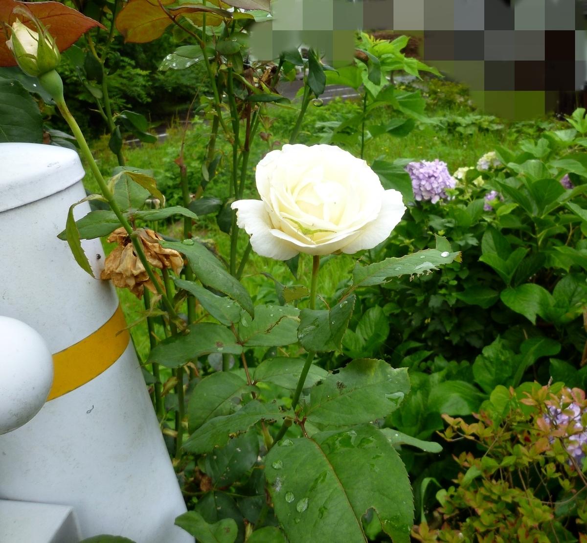 道端の黄色いバラ
