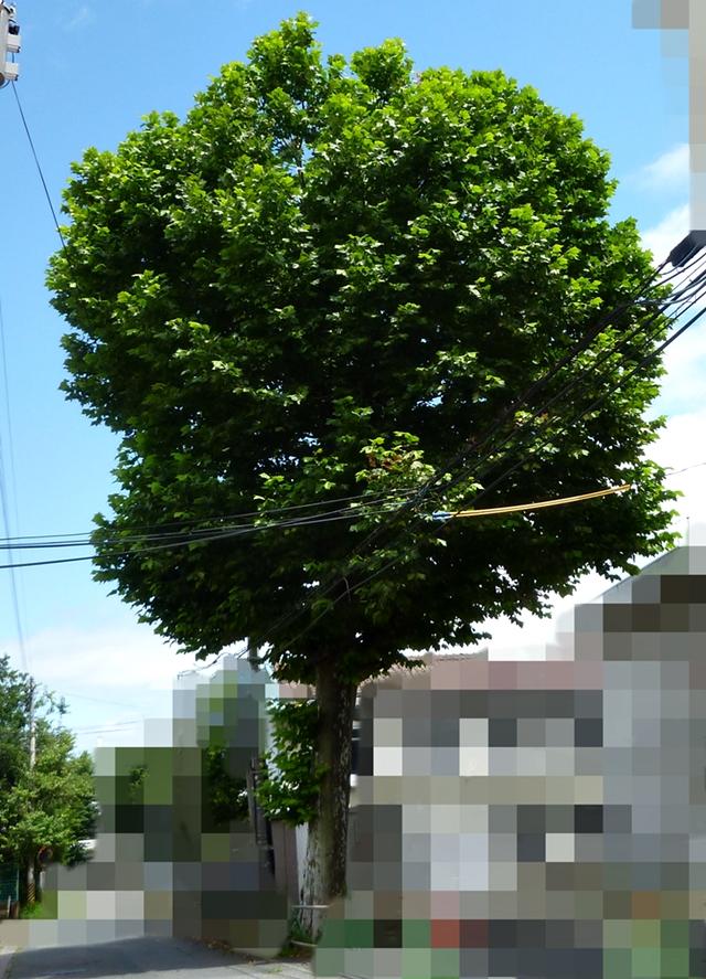 大木の日陰
