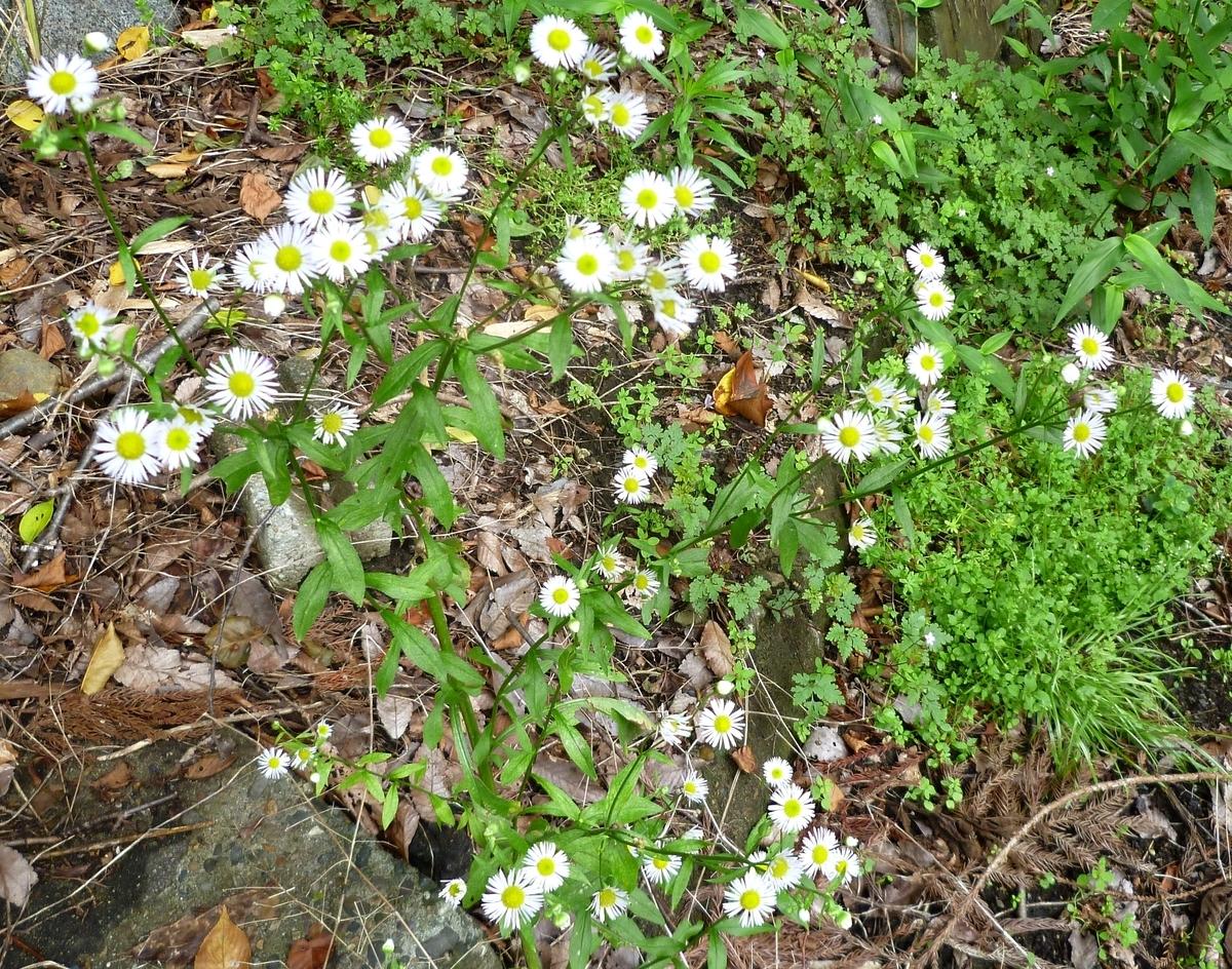 道端の白い花