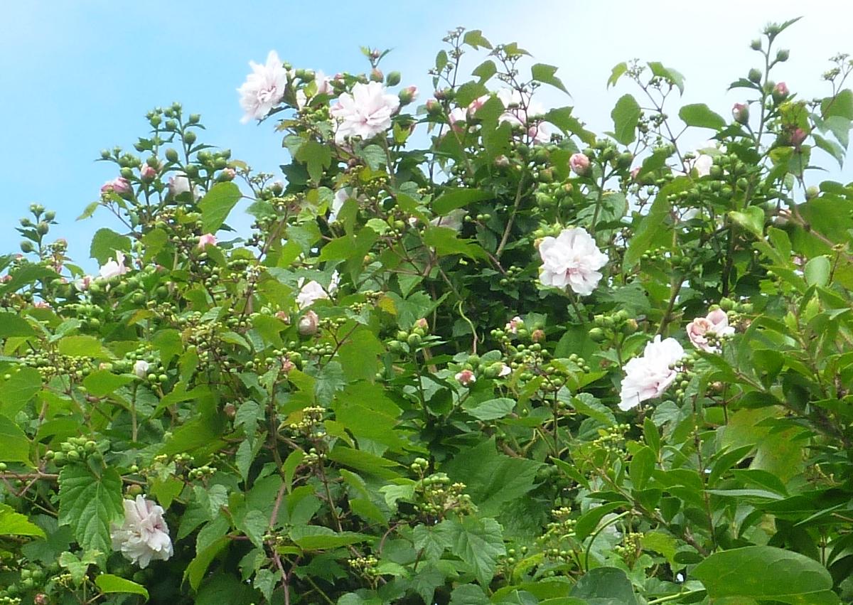 うちの庭の花