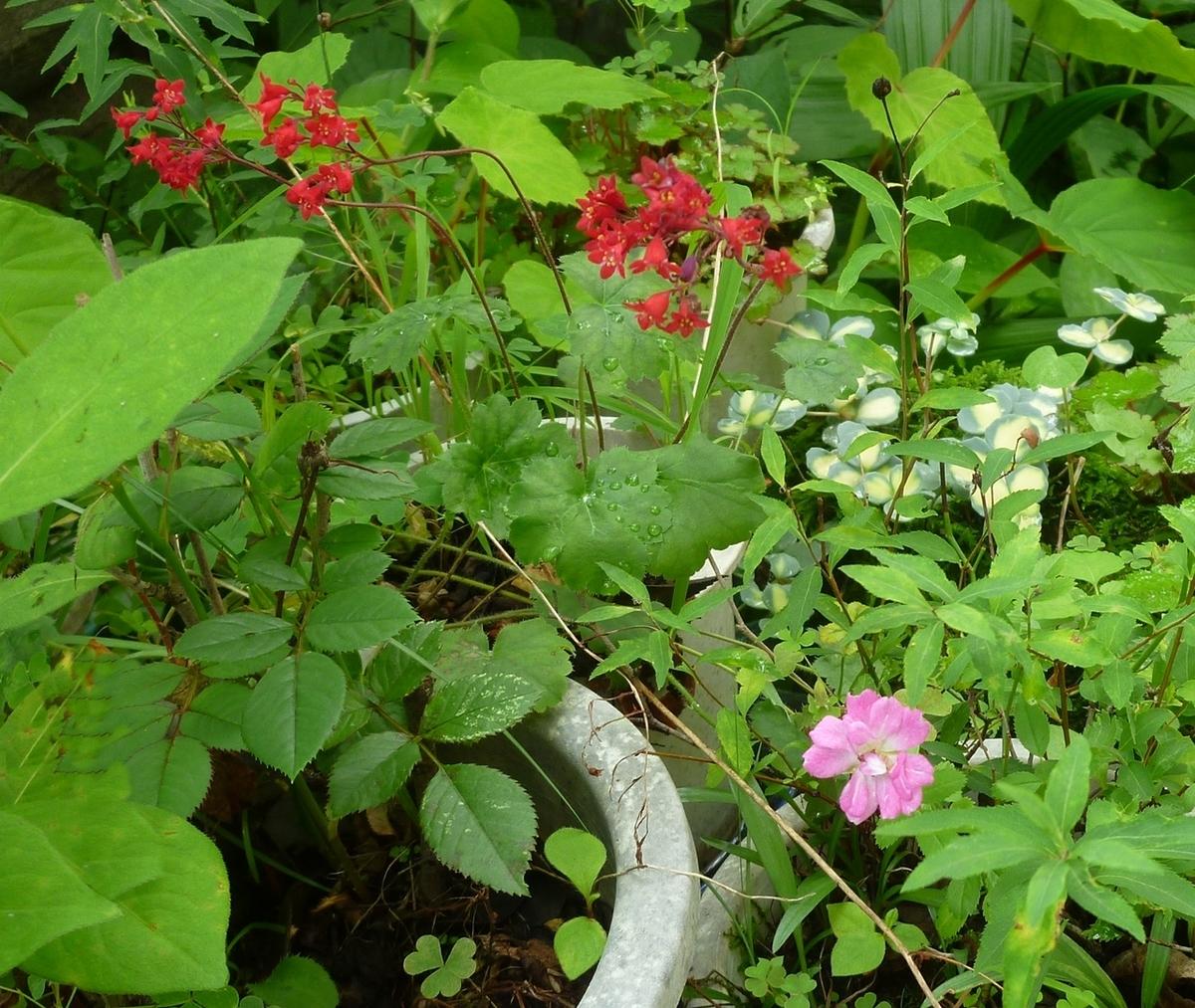 うちの鉢植えの花