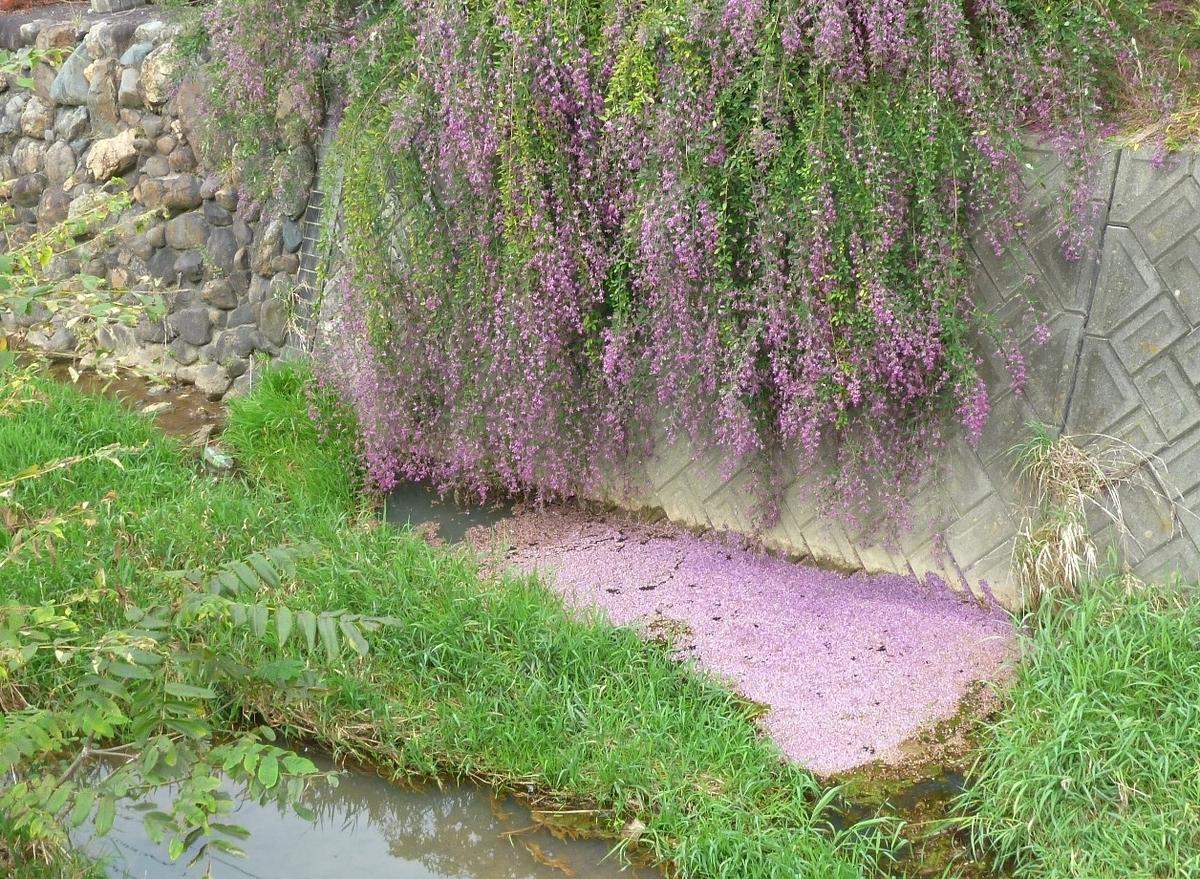 ピンクの花びらで埋もれる川面