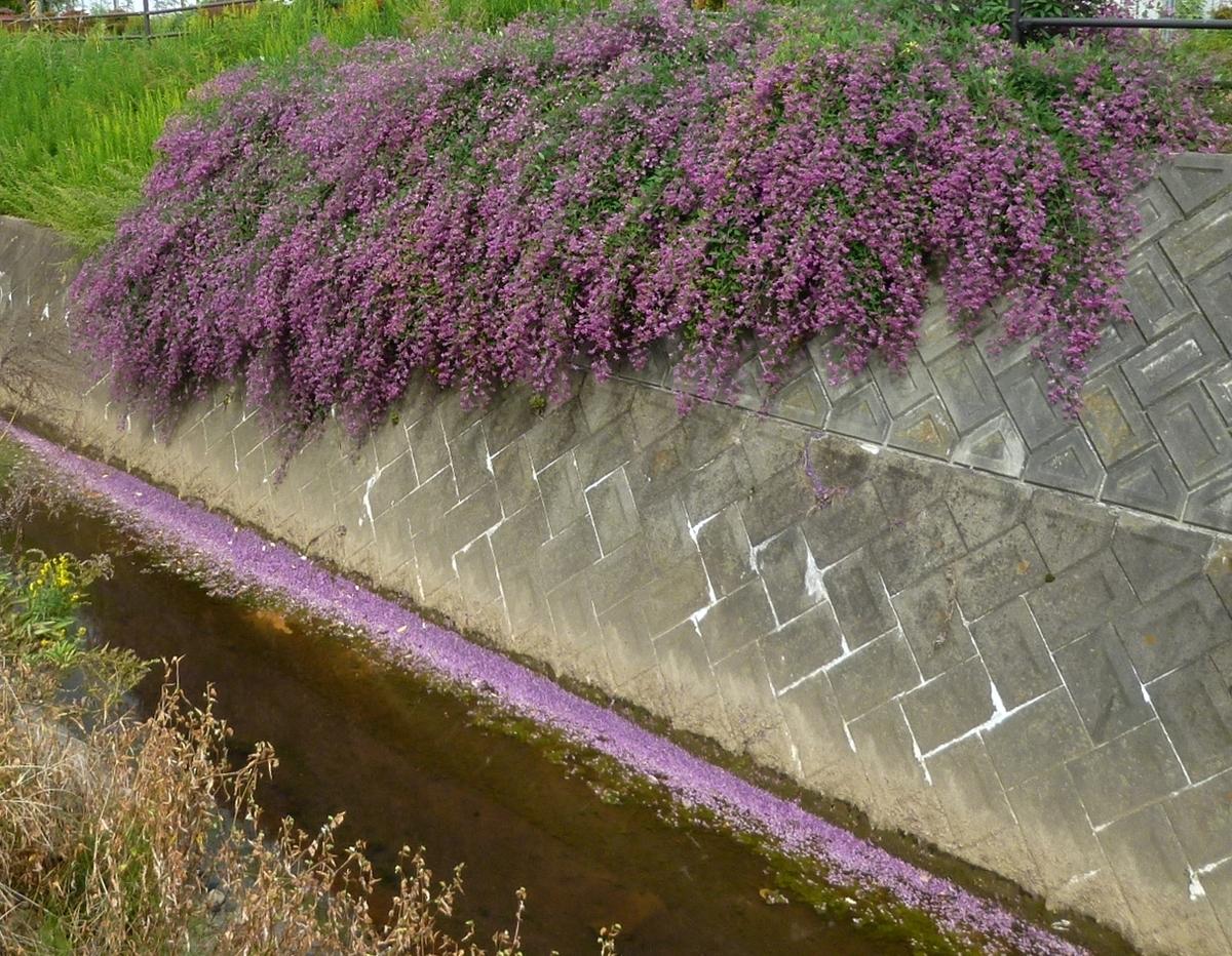 花びらが流れる川