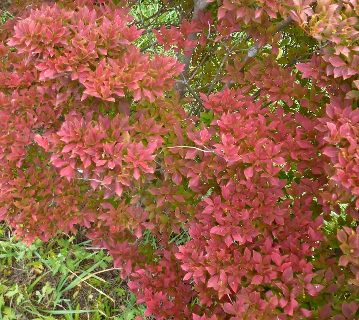 低木の紅葉