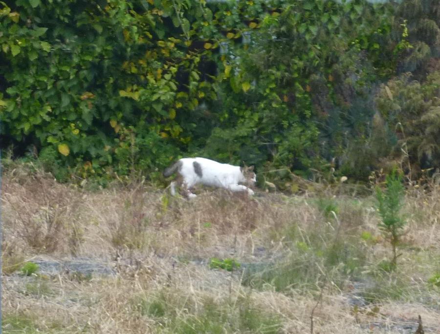 白いブチ猫