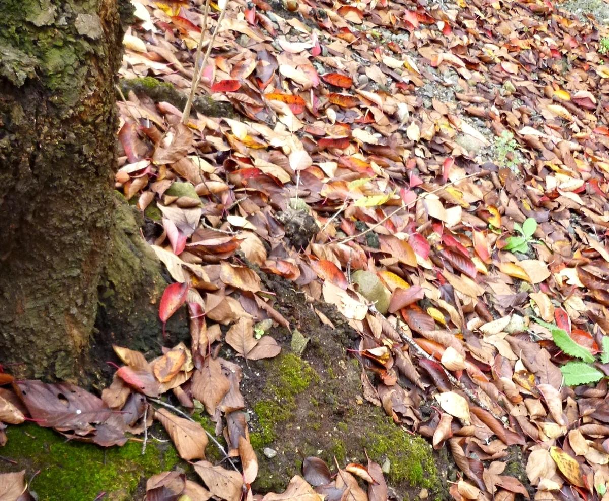 桜の木の下の落ち葉たち