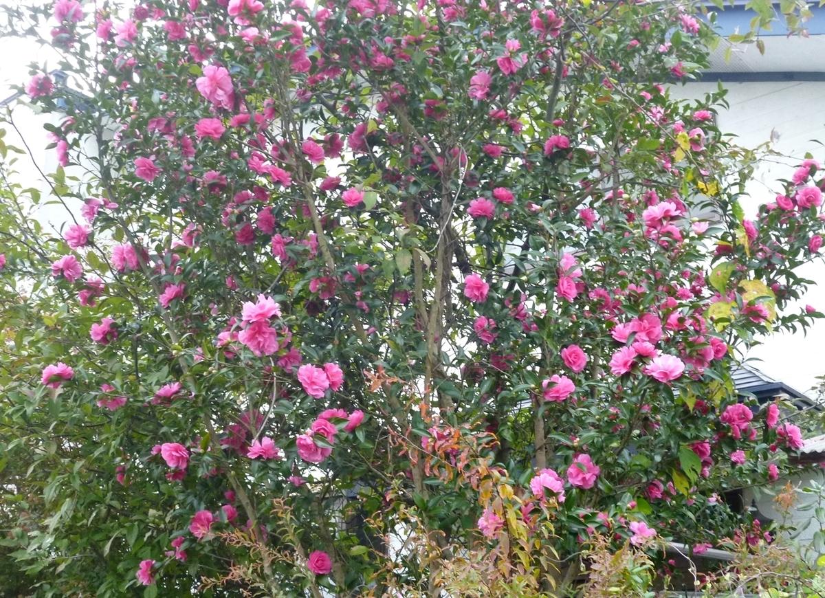 庭の山茶花 さざんか