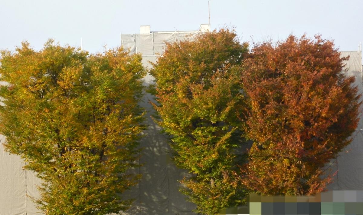 3本の大木の紅葉