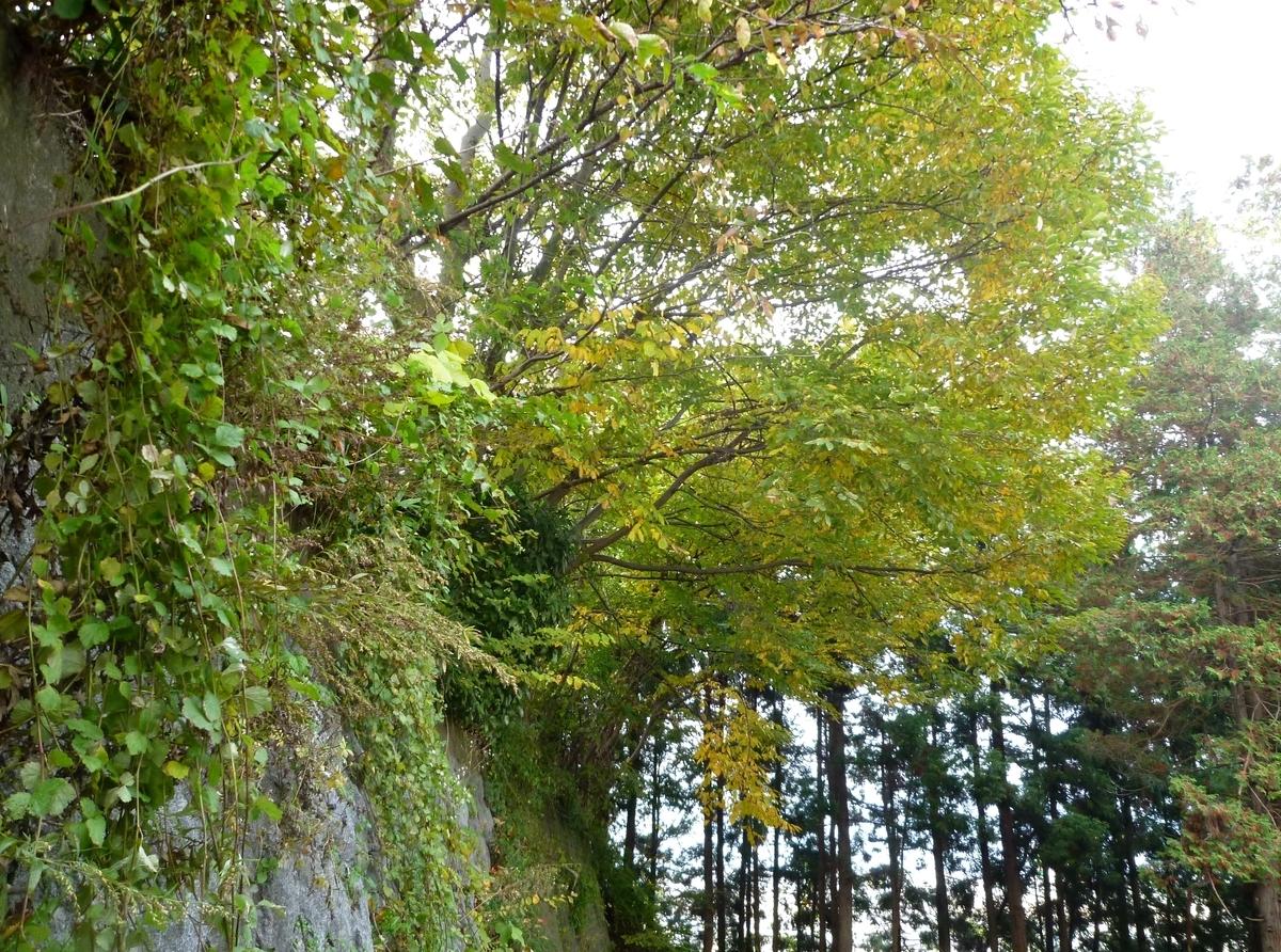 石垣と杉林